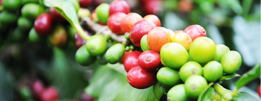 ACPCU LYD - Ankole Coffee Producers Cooperative Union Limited ACPCU what we do